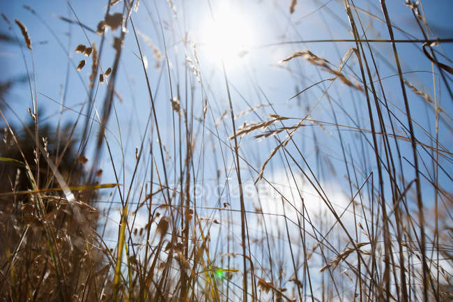 Sunlight in blue cloudy sky lighting through grass — Stock Photo