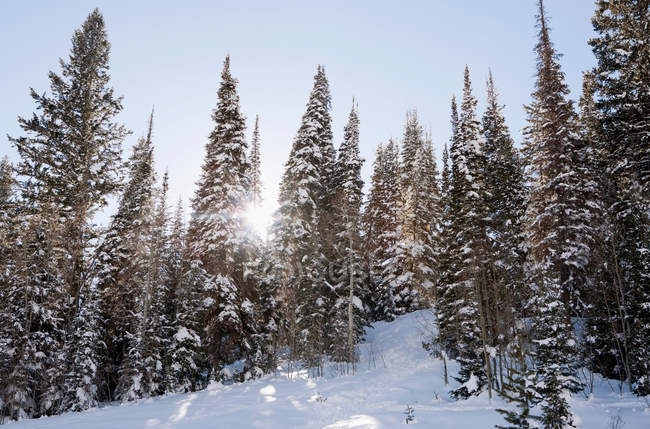 Sunlight through snow covered trees — Stock Photo