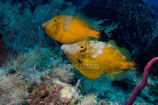 Paire de whitespotted Monacanthidae avec coraux, tiré sous l'eau — Photo de stock