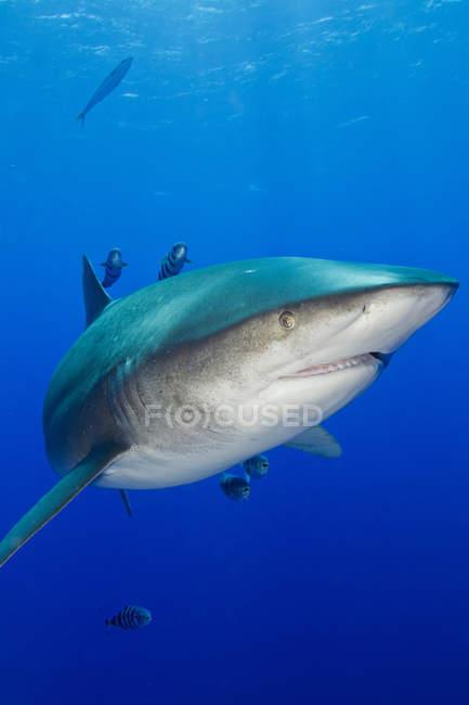 Большой злой акула — стоковое фото