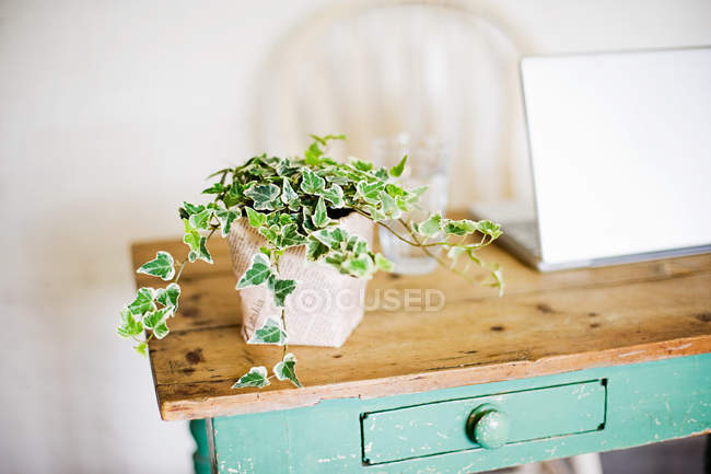 Ivy growing out of plant pot on wooden table — Stock Photo