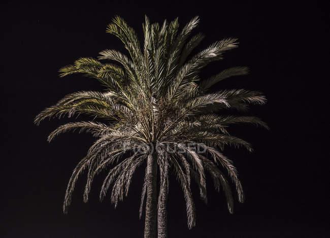 Due belle palme scure isolate su sfondo nero — Foto stock