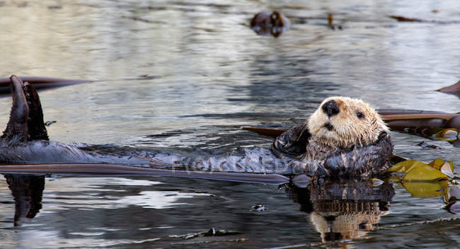 Sea otter resting in Kelp Bed — Stock Photo