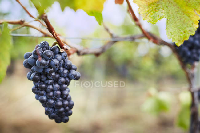 Close-up of ripe bunch of red grapes on vine, Kelowna, British Columbia, Canada — Stock Photo