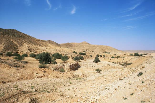 Olive trees matmata tunisia — Stock Photo