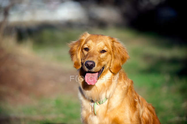 Golden retriever au soleil — Photo de stock