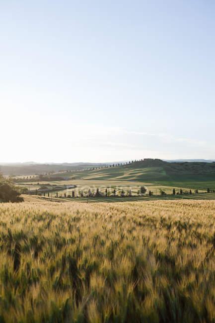 Barley field in evening light near Siena — Stock Photo