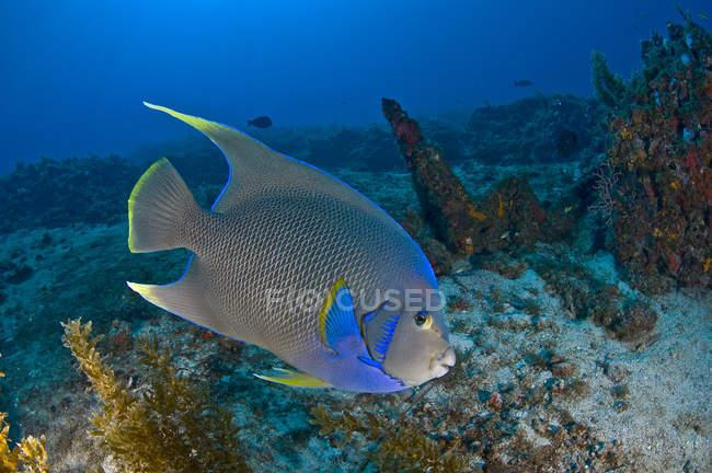 Queen angelfish on coral reef under water — Stock Photo