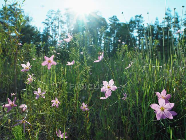 Фіолетові квіти в галузі — стокове фото