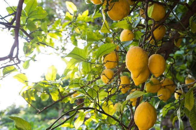 Zitronenbaum voller reifer Früchte — Stockfoto