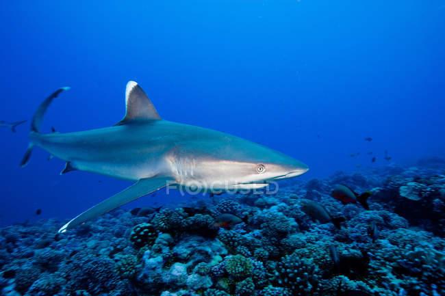 Вид сбоку акулы плавание под водой — стоковое фото