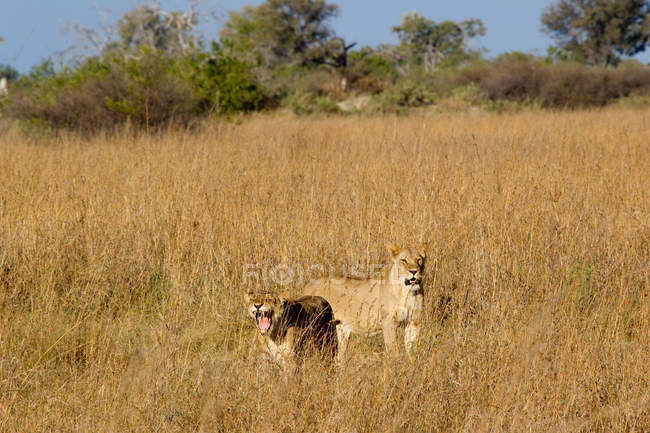 Lions on African plains — Stock Photo