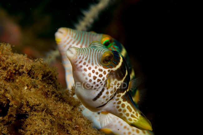Par de Whitebelly Tobies peces nadando bajo el agua - foto de stock