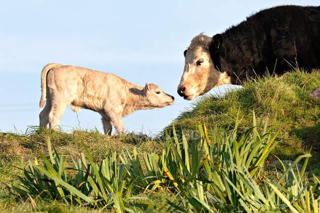 Корови і новонародженого теля в лузі з морський пейзаж на тлі — стокове фото