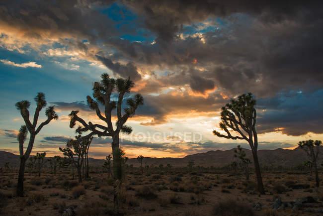 Сутінки Джошуа дерева Національний парк, Каліфорнія, США — стокове фото