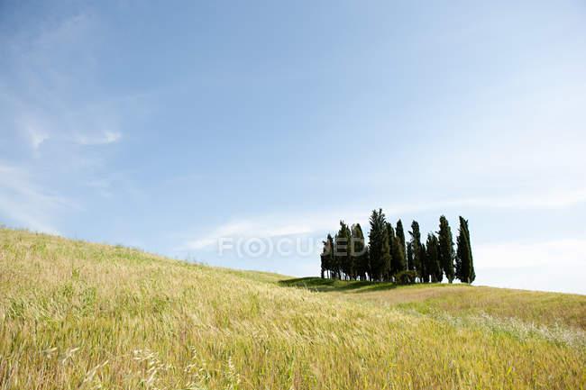 Cyprès dans le champ — Photo de stock