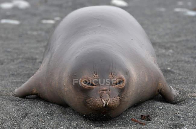 Elefante cucciolo di foca sulla spiaggia — Foto stock