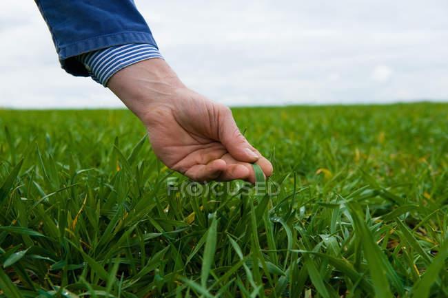 Hand of farmer monitoring field crop — Stock Photo
