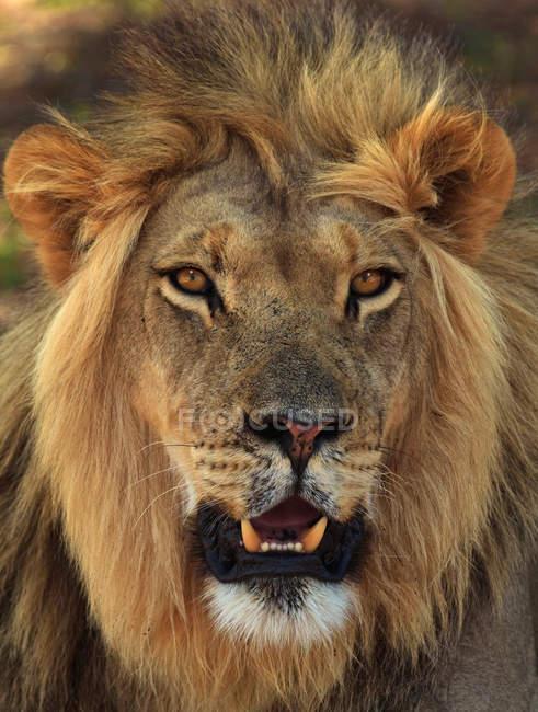 Lion portrait at Kgalagadi Transfrontier Park — Stock Photo