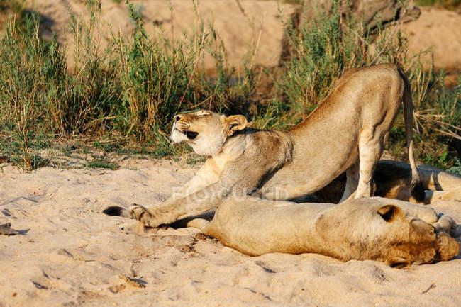 Löwin Stretching, Sabi Sand Wildreservat, Südafrika — Stockfoto