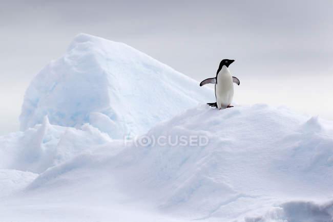 Adelie Penguin on ice floe — Stock Photo