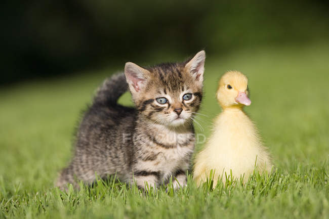 Kätzchen und Entlein sitzen im Sonnenlicht auf dem Gras — Stockfoto