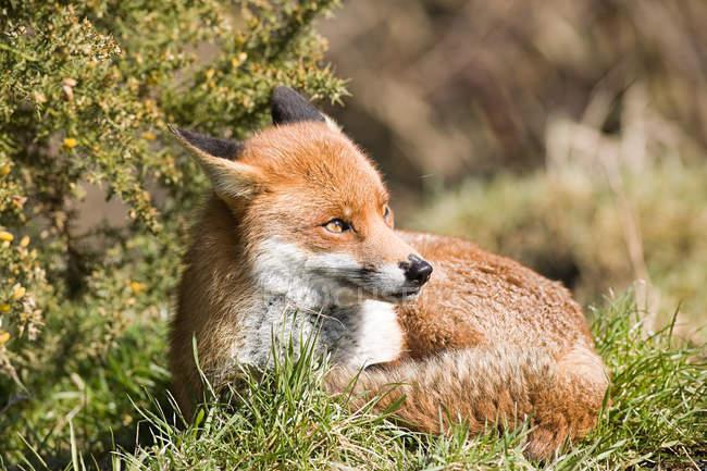 Лисиця руда, лежачи на зеленій траві — стокове фото