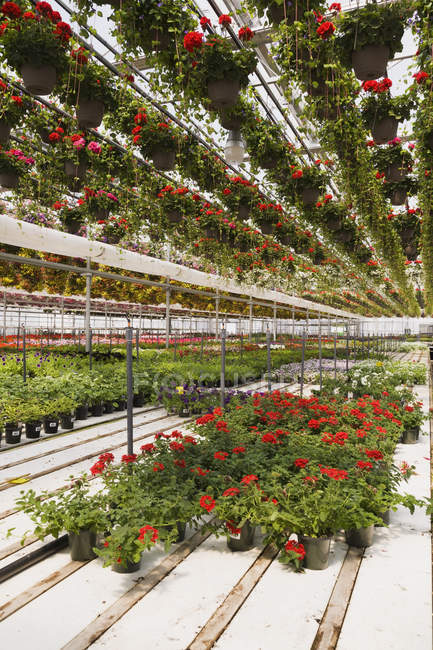 Steel framed commercial greenhouse with red Pelargonium - Geranium flowers in hanging baskets plus mixed flowering plants being grown in containers for sale to distributors and the public in spring, Quebec, Canada — Stock Photo