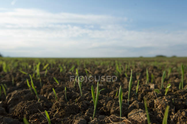 Seedlings in crop field — Stock Photo
