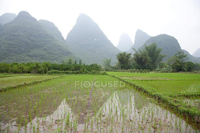 Campi di riso e paesaggio carsico — Foto stock