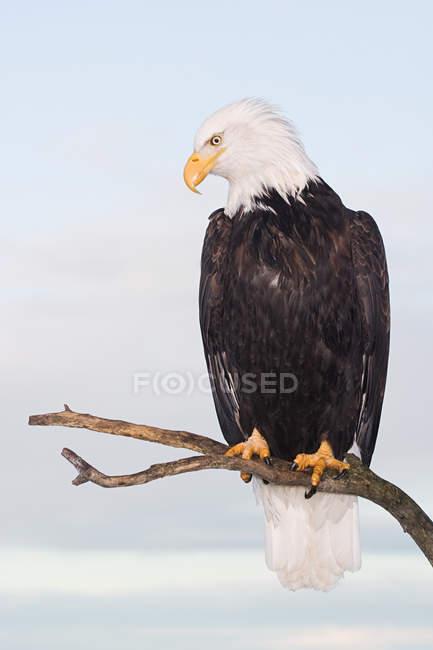 Águila calva perchado en la rama de árbol - foto de stock