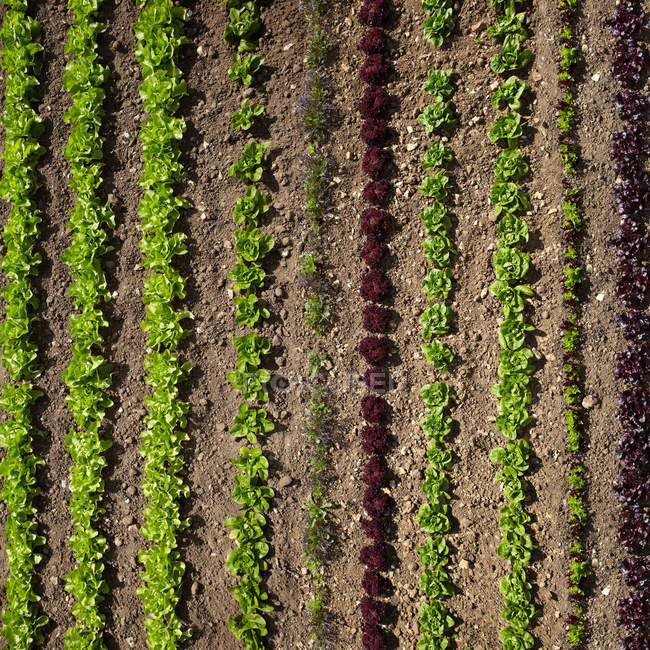 Blick auf Reihen von Pflanzen — Stockfoto
