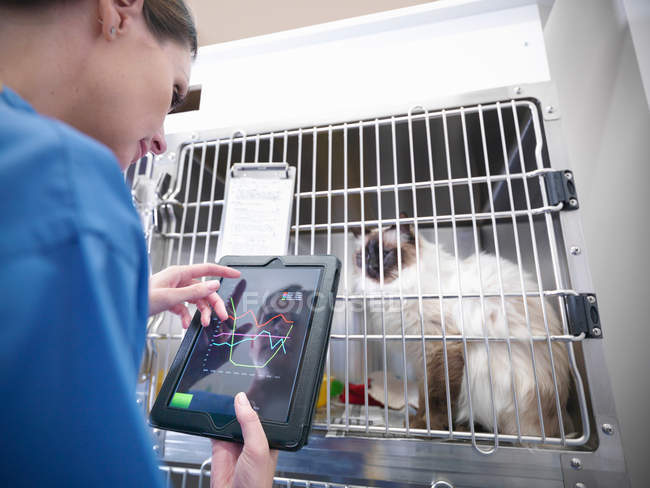 Ветеринарна медсестра оглядає кота в клітку в ветеринарній практиці. Медсестра з використанням цифрової планшета з графіками на сенсорній екрані — стокове фото