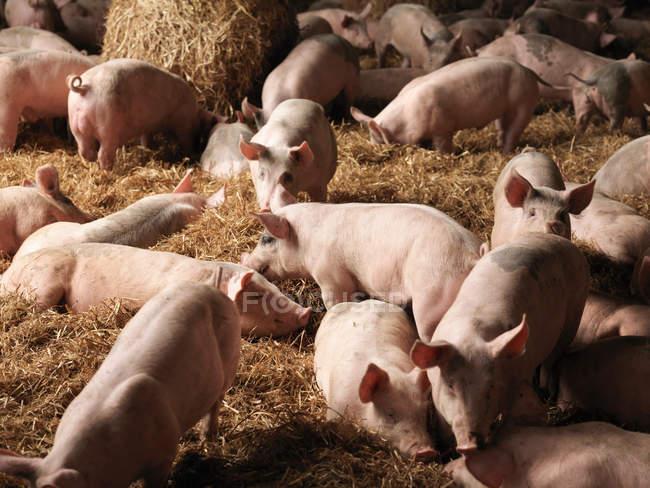 Lechones pastando dentro de granero rural - foto de stock