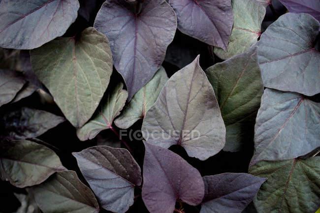 Folhas escuras da planta — Fotografia de Stock