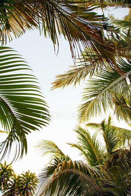 Palm Bäume Laub mit blauem Himmel — Stockfoto