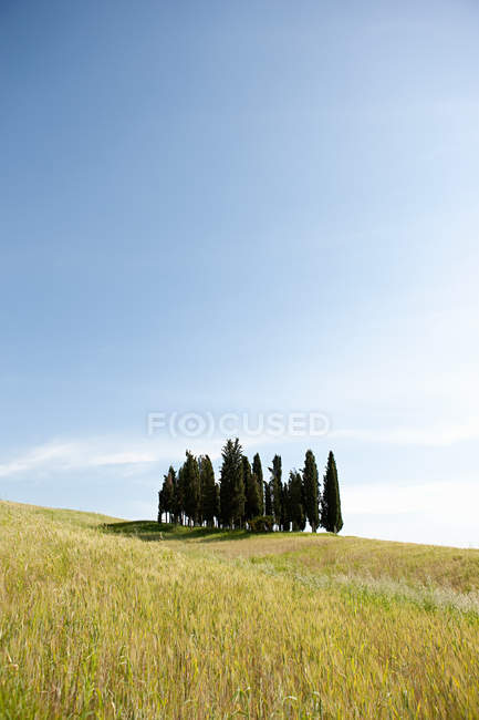 Cypress trees in field — Stock Photo