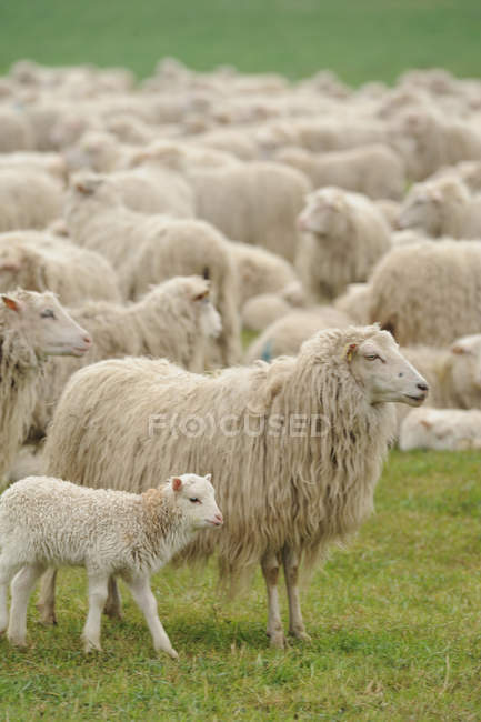 Schafbeweidung auf dem grünen Rasen des Feldes — Stockfoto