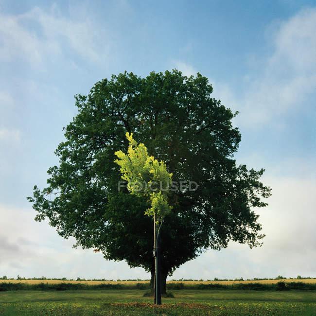 Giovani e vecchi alberi di quercia — Foto stock