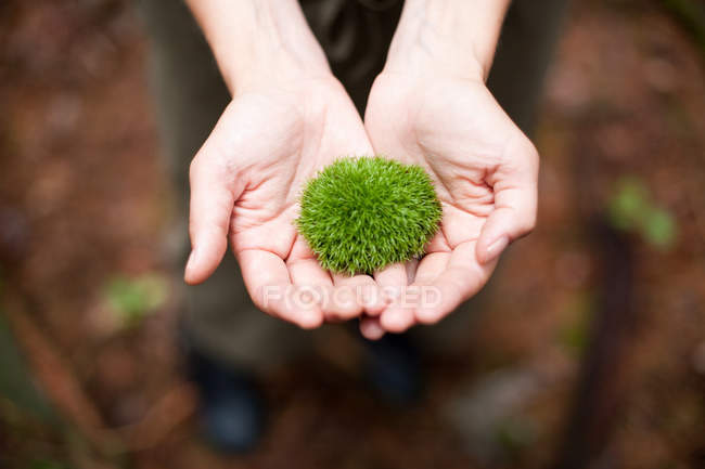 Woman holding moss in palms of hands, partial top view — Stock Photo
