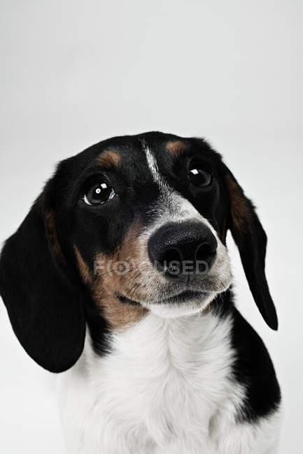 Gros plan de teckel tête de chien — Photo de stock