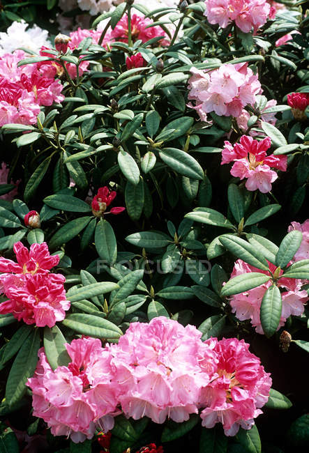 Rhododendron blossom shrub with pink petal — Stock Photo