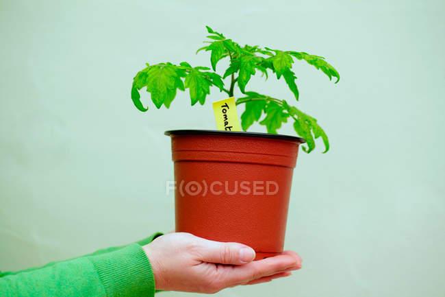 Persona che detiene la pianta di pomodoro in vaso — Foto stock