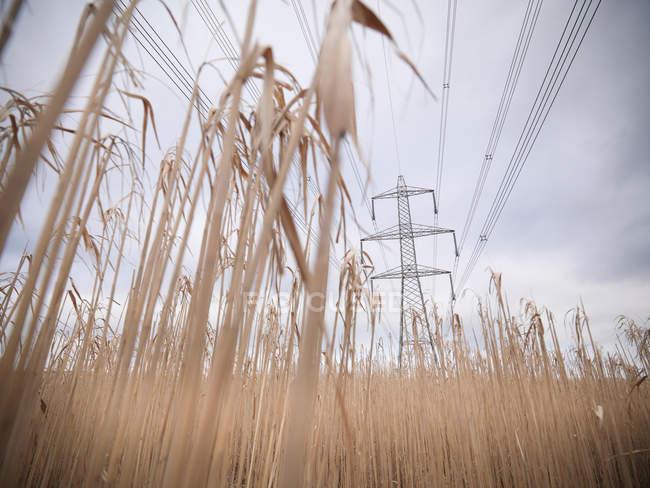 Pylône sur Miscanthus, ou herbe d'éléphant, culture sur la ferme de biomasse — Photo de stock
