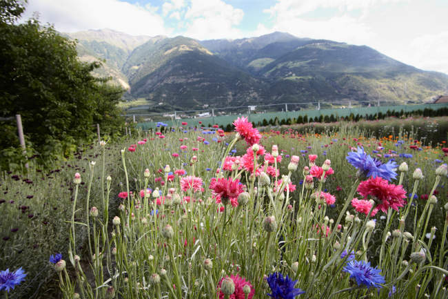 Field of flowers in landscape — Stock Photo