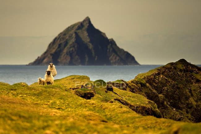 Moutons paissant sur la colline — Photo de stock