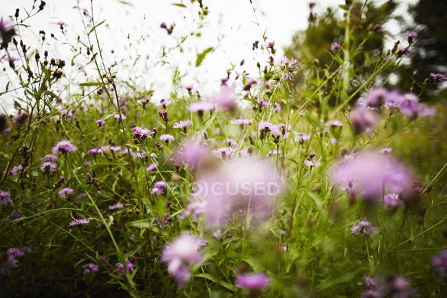 Campo de pradera de flores rosadas - foto de stock