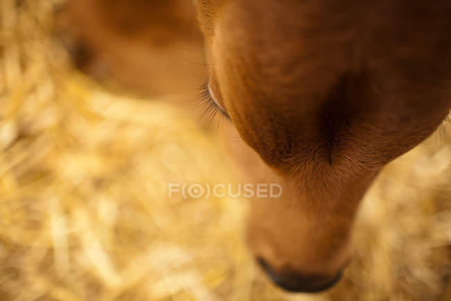 Close up shot of calf head — Stock Photo