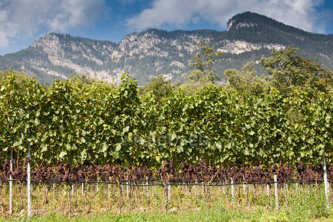Vines in rural vineyard — Stock Photo