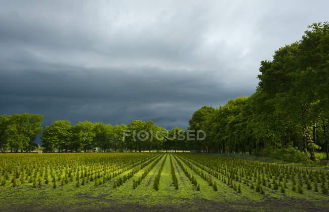 Pépinière d'arbres avec une surcharge orage — Photo de stock